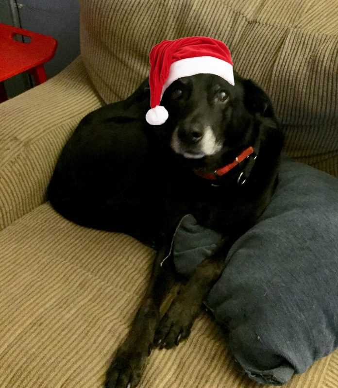 Black dog sits on couch with pillow. Dog is wearing red collar and Santa hat.