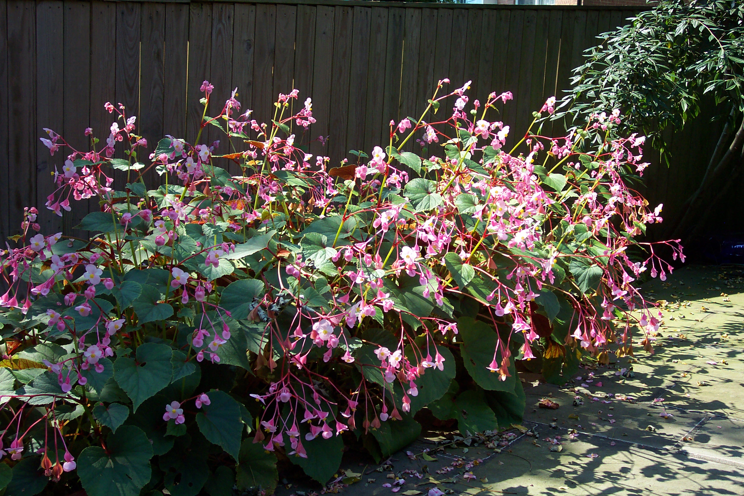 The Hardy Begonia A Star For Every Garden Hillrag
